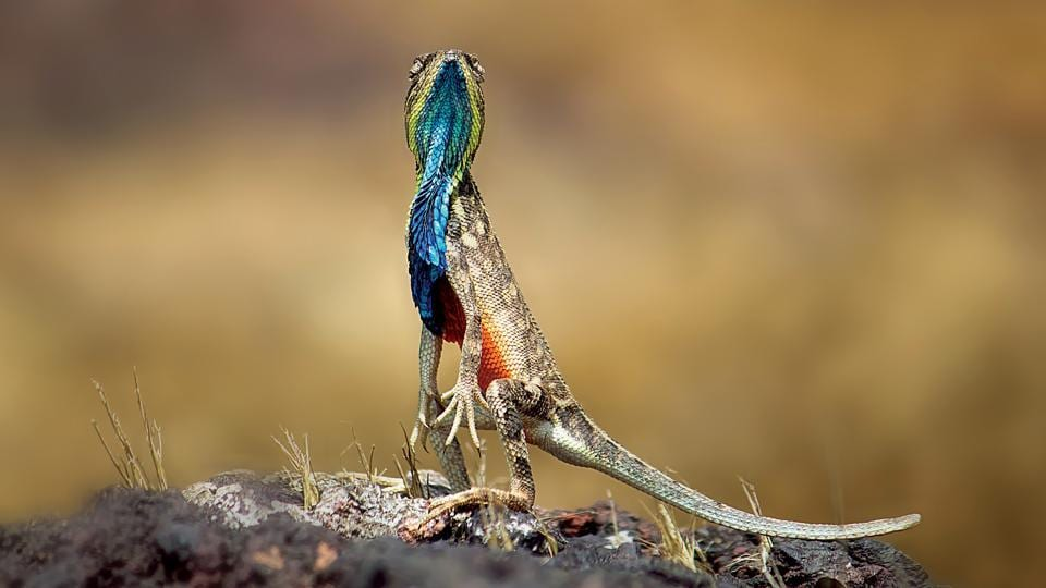 A male fan-throated lizard stands atop a rock in the hopes of attracting a partner.