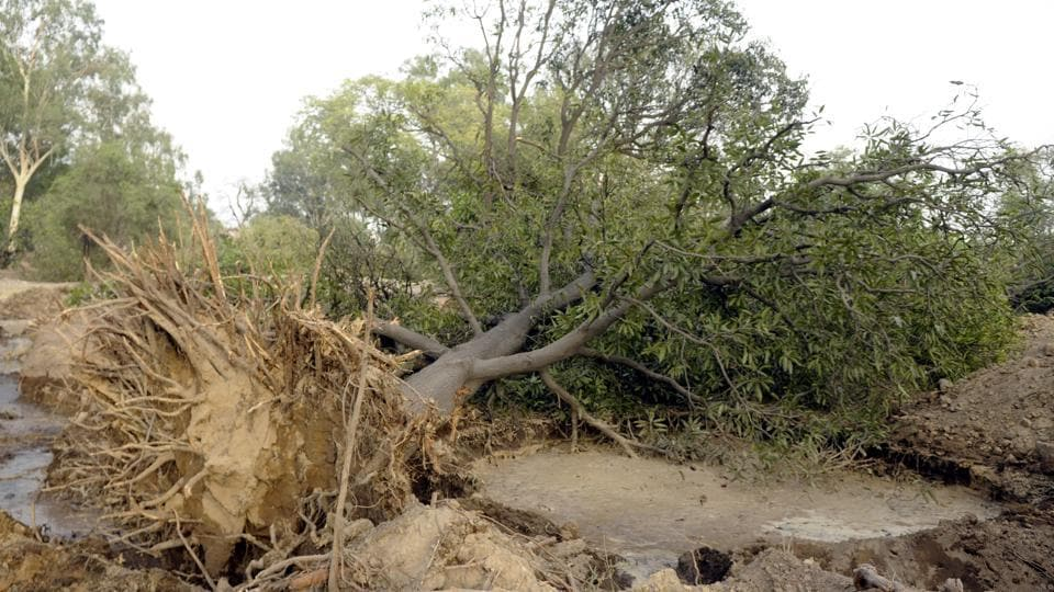 An axed tree in the Model Town area in Patiala on Sunday.
