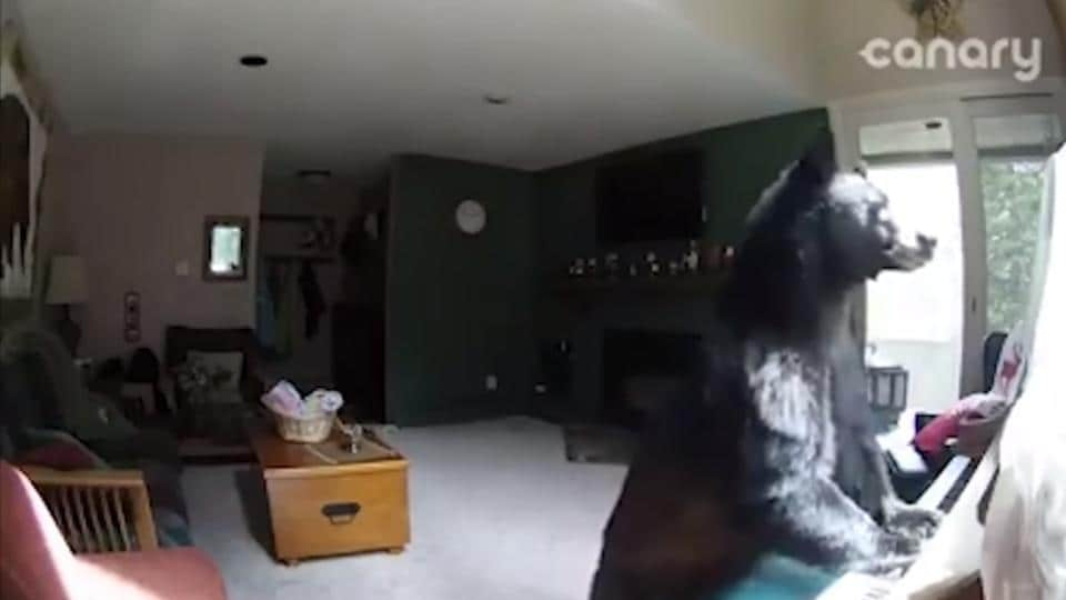 Bear Breaks Into House In Colorado For Food Plays Piano