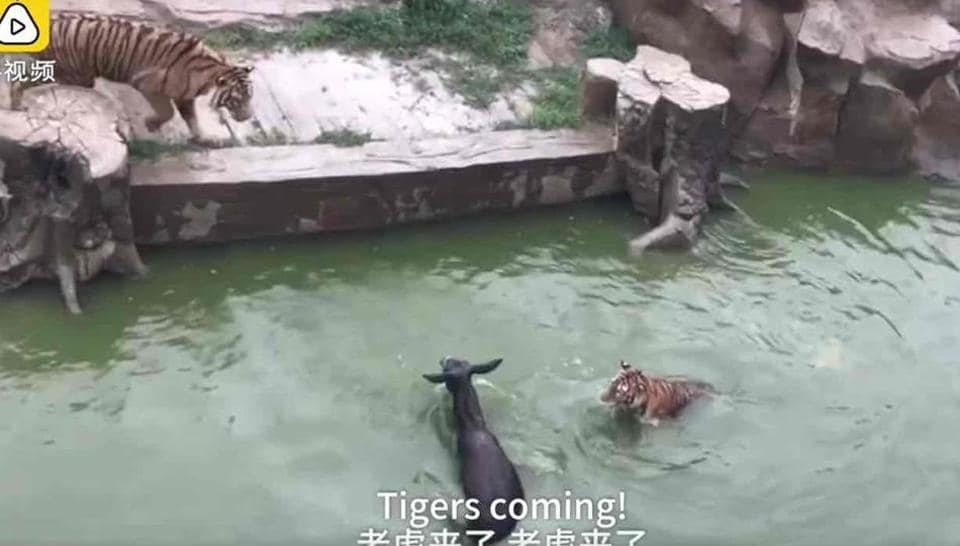 Live donkey being fed to tigers in a Chinese Zoo (Screengrab)