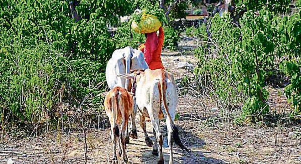 A villager takes her cattle through Rajaji National Park.