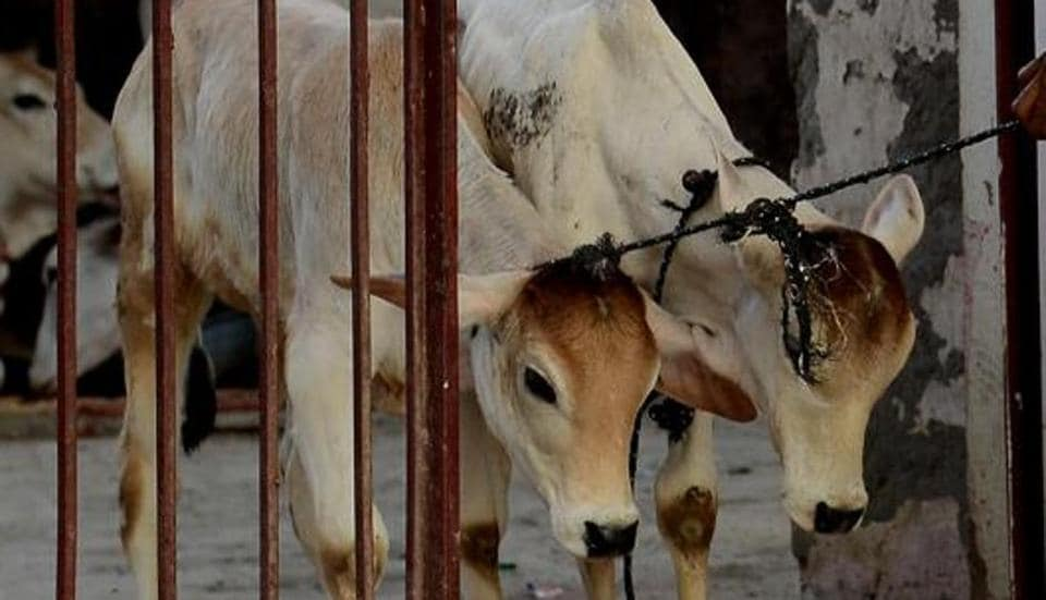 An Indian caretaker guides calves through the door at a cow shelter in New Delhi, April 25. The Uttar Pradesh government has decided to use the National Security Act (NSA) — a law primarily enacted to deal with the defence of the country, India's relations with foreign powers, and the security of India — to deal with instances of cow slaughter and smuggling.