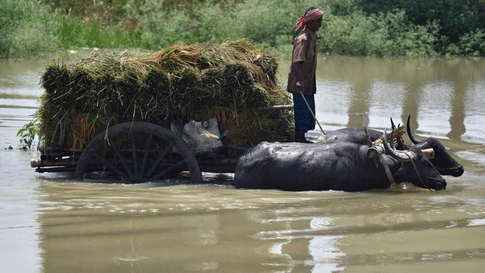 An Indian farmer transports harvested paddy on a buffalo cart through flood waters.  (Biju BORO / AFP)
