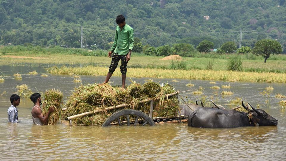 People load harvested crop onto a buffalo cart from a flooded paddy field in Morigaon district.  (Anuwar Hazarika / REUTERS)
