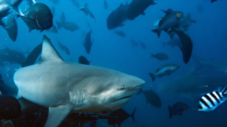 The big Bull shark from Pacific Ocean at 30 meters depth.