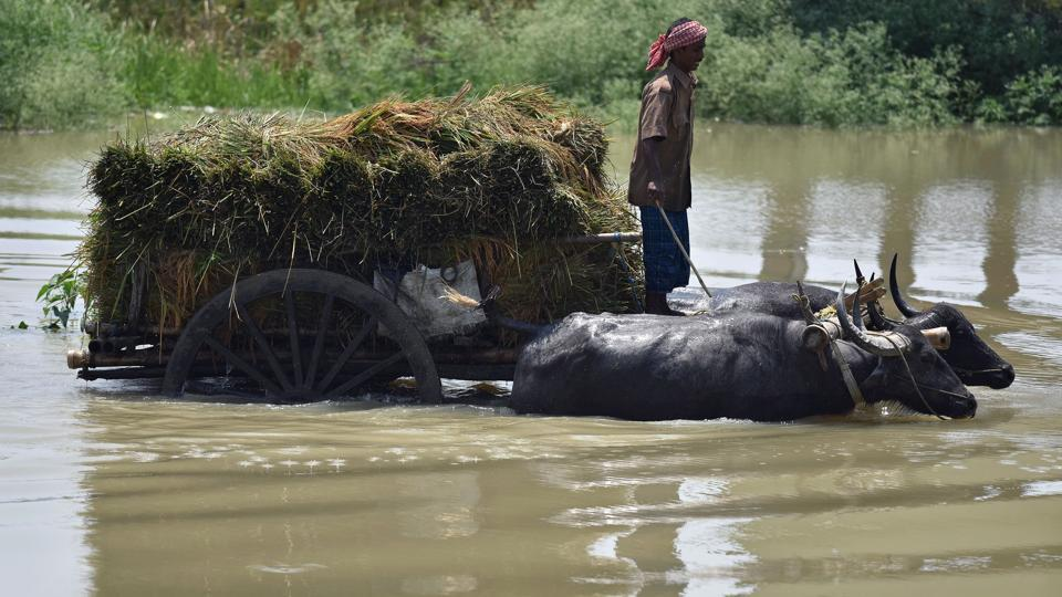 A farmer transports harvested paddy on a buffalo cart through flood waters in Mayong, Assam in June. IMD has predicted near normal monsoons for the year in India.  (Biju Boro/AFP)