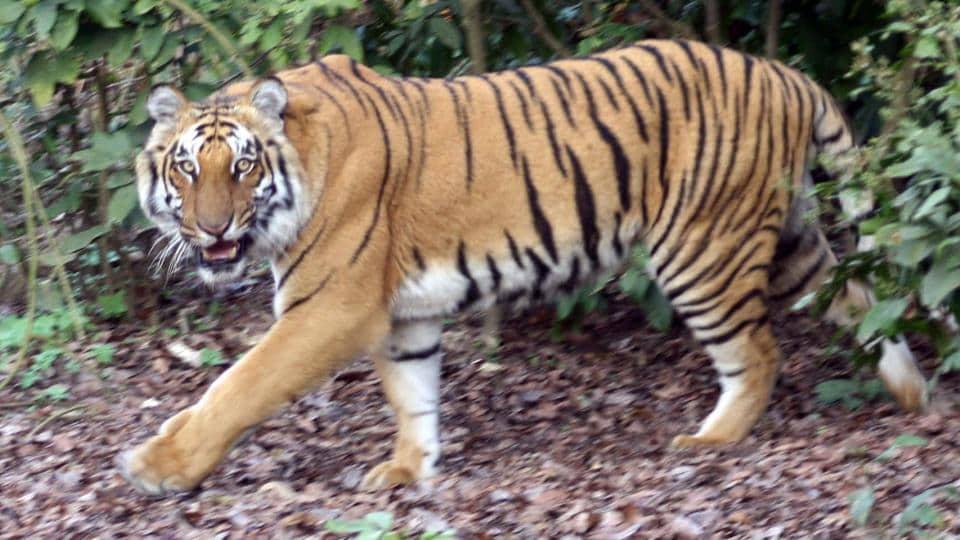 A tiger at Corbett Tiger Reserve in Ramnagar.