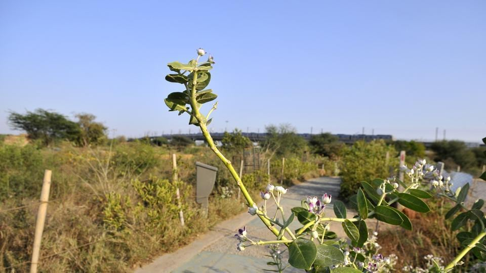 The Aravalli Biodiversity Park and the Yamuna Biodiversity Park together are a repository for more than 250 medicinal plants.