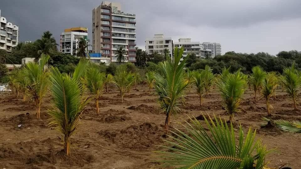 The Versova Residents Volunteers planted two-year-old coconut trees, which have a better survival rate.