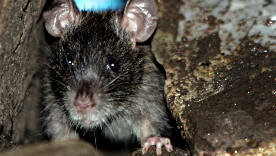 Rodents can cause several kinds of diseases, including salmonellosis, leptospirosis and the plague.