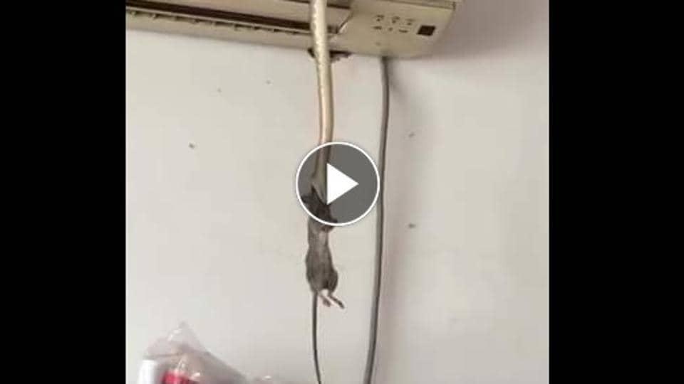 Viral Video,Snake,Rat