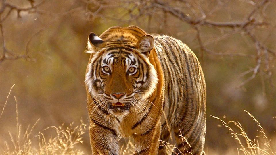 Sariska Tiger Reserve,Turf war,Rising tiger population