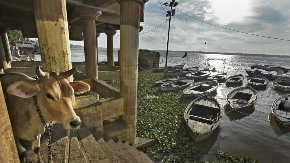 A cow stands near the Harishchandra Ghat area on the River Ganges in Varanasi.