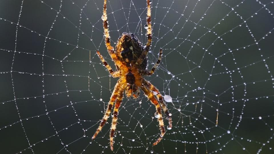 As spiders grow older, their web shows erratic weaving and gaping holes.