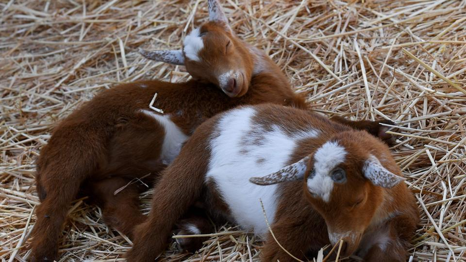 Baby goats resting during 'Goat Yoga' class organized by Lavenderwood Farm. (Mark RALSTON / AFP)