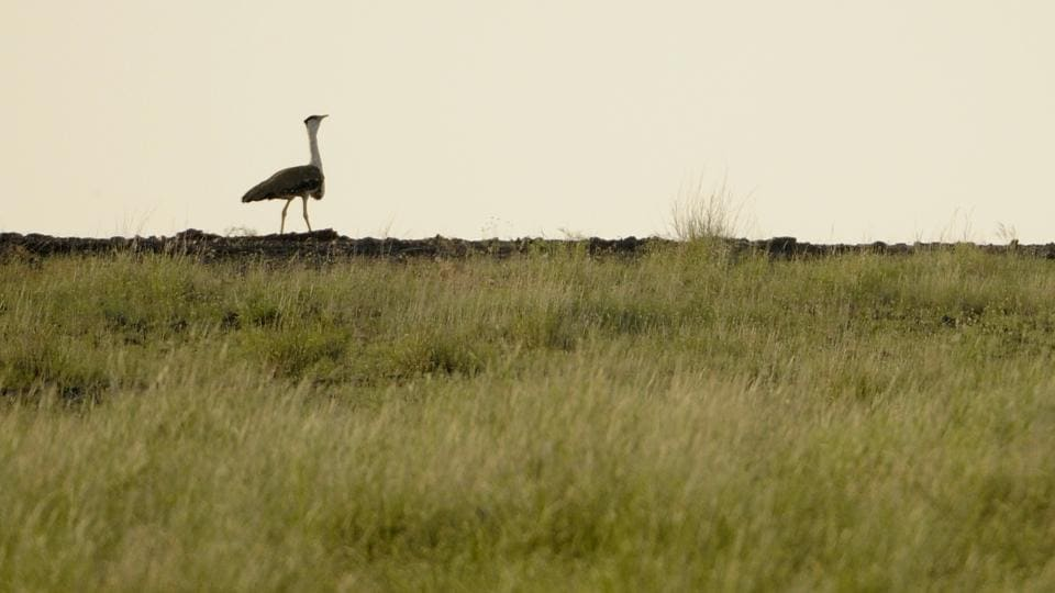 A Great Indian Bustard in the Desert National Park, Rajasthan.