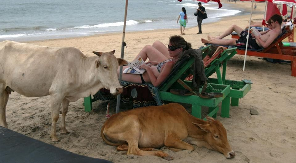 This file photo taken on March 14, 2008 shows western tourists relaxing next to cows on Anjuna Beach in Goa.