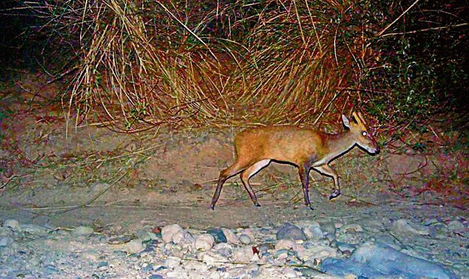 A camera trap image of a barking deer traversing a Siswan trail at night.