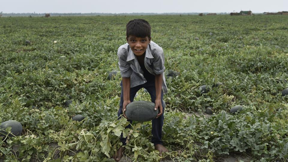 The drying up of the Yamuna has forced approximately 500 families to migrate to Meerut, Uttar Pradesh where they farm near the Ganga river for eight months in a year. Their children are unable to attend school due to this annual migration and work as farm labour instead. (Burhaan Kinu/HT PHOTO)
