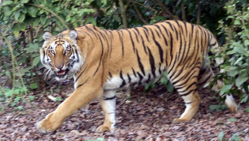 Is A Tiger A Big Cat