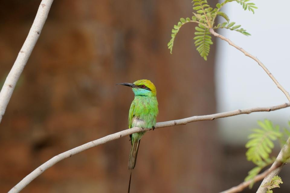 A green bee-eater sparrow. Once one of the city's commonly sighted birds, the sparrows have declined in number over time.