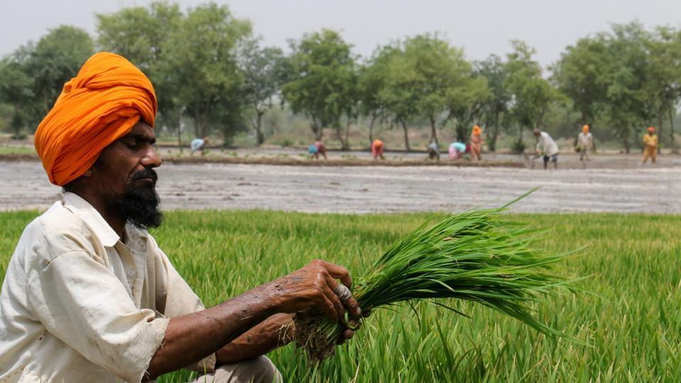 Labourers planting paddy at Gehari Baghi village in Bathinda on Monday.