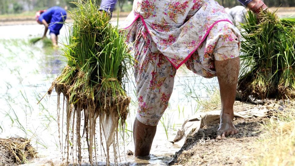 Labourers at work in a paddy field at Khera village near Patiala.  (Bharat Bhushan/HT)