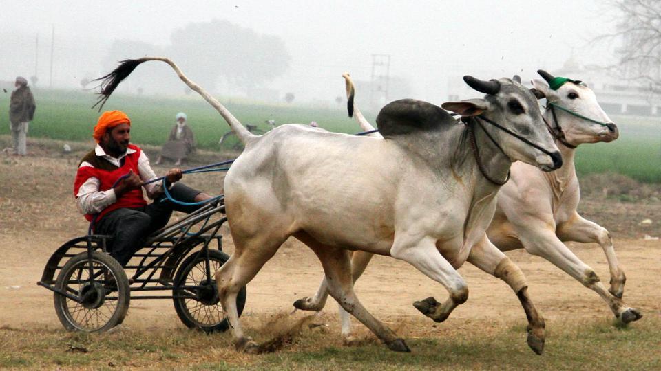 Bullock cart race underway at the 78th Kila Raipur Sports Festival at the village near Ludhiana on February 1, 2014.