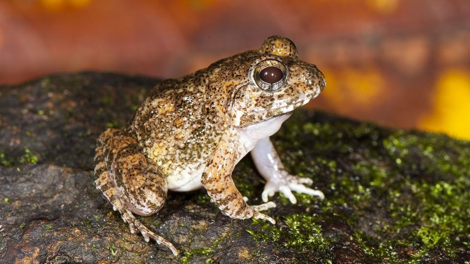 The Kadar burrowing frog described in the new paper.
