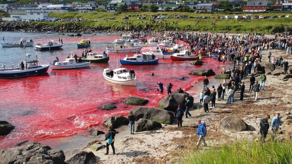 The killing of the mammals on such a large scale has turned the sea red, prompting criticism from animal rights organisations as well. (Shutterstock\filephoto from 2010)  Graphic images: viewer discretion is advised.