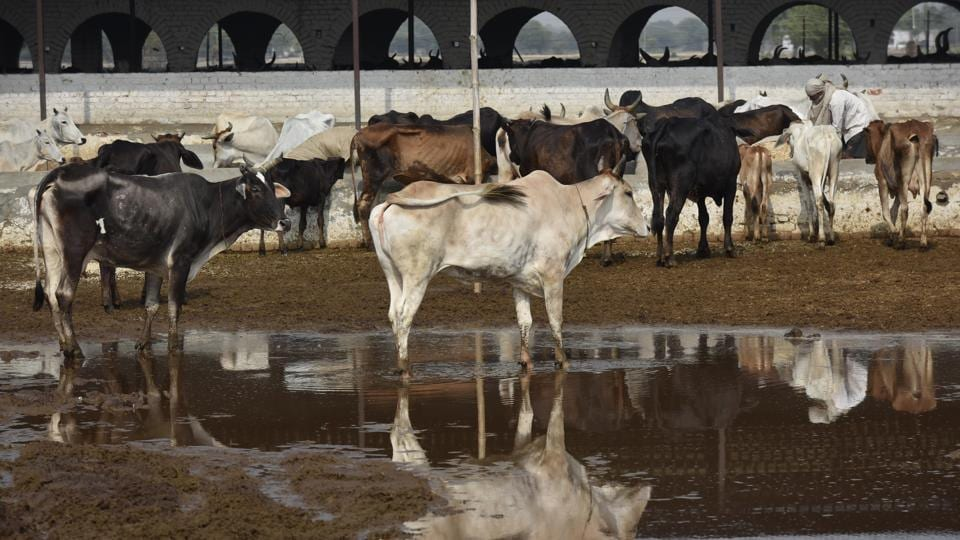 Cow shelters,Cow deaths,Najafgarh