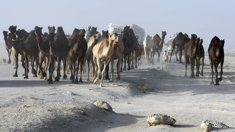 Qatari men herd camels in a desert area on the Qatari side of the Abu Samrah border crossing between Saudi Arabia and Qatar on June 21, 2017. Around 12,000 camels and sheep have become the latest victims of the Gulf diplomatic crisis, being forced to trek back to Qatar from Saudi Arabia, a newspaper reported Tuesday.