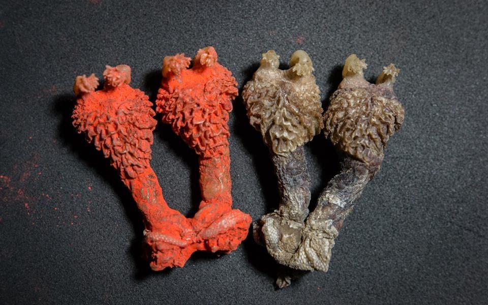Dried monitor lizard penises passed off as Hatha Jodi.