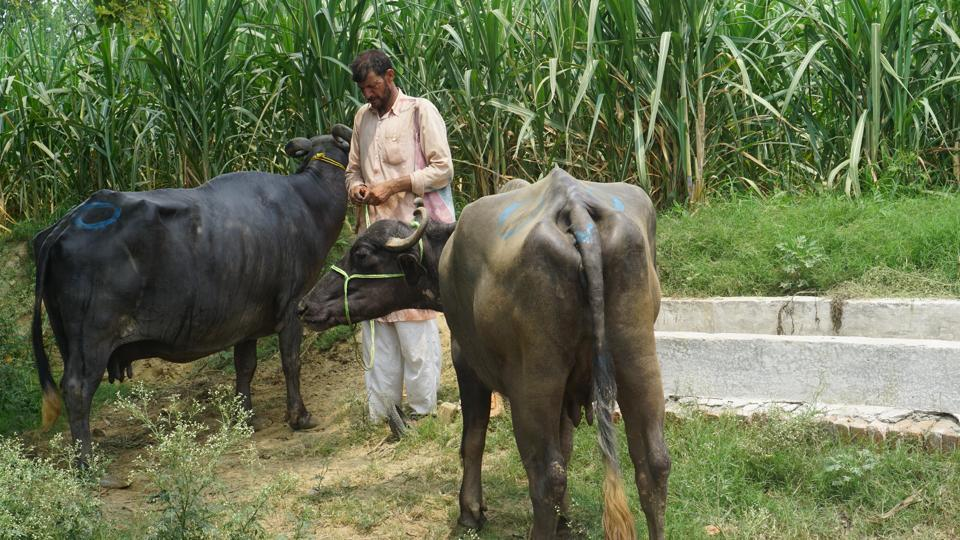 Cattle sales are down to 10 percent at the Banat market in western Uttar Pradesh.