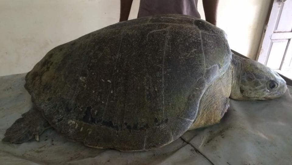 The Olive Ridley turtle that was found with no right flipper at Dahanu on Friday.