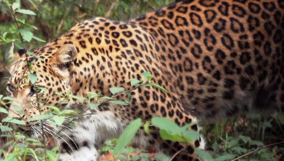 The last census in 2008 estimated the leopard population at 2,335 in Uttarakhand.
