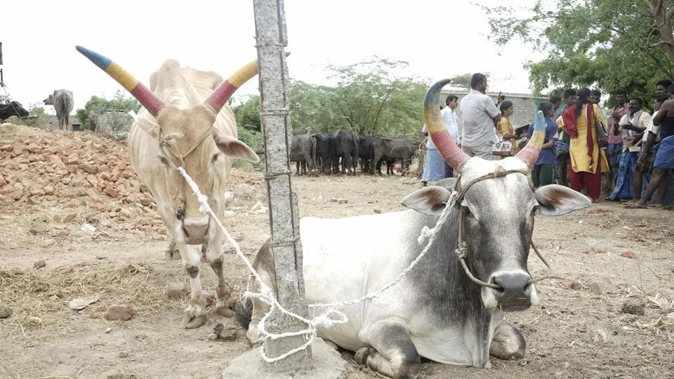 Sales have dropped and hundreds of cows remain unsold at the market.