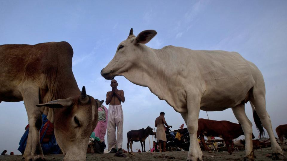Cows stray around as a Hindu devotee offers prayers at Sangam in Allahabad.