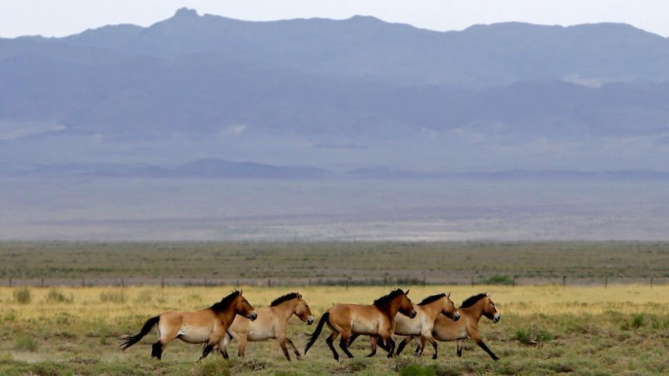 The very sight of wild horses symbolises freedom, but most Mongol horses are not truly wild. Most breeds claim descent from domesticated horses, possibly tamed by the armies of Genghis Khan in the 13th century. But for all the skills and passion of these 'Hell's Horsemen' there remained one horse they never could tame - Przewalski's horse. These horses are now the only truly wild horses anywhere in the world. After being driven to the brink of extinction, they are now making a slow recovery. A Czech military CASA aircraft with four mares of the Przewalski's horse arrived in Mongolia after a 20 hour flight with stopovers in Russia's Kazan and Novosibirsk. (David W Cerny/REUTERS)