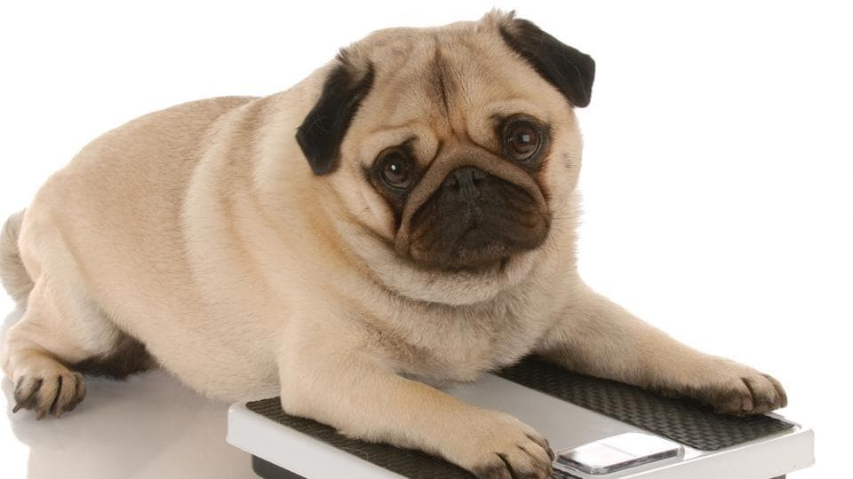 Obesity in pets increases the risk of type 2 diabetes, arthritis and heart disease.