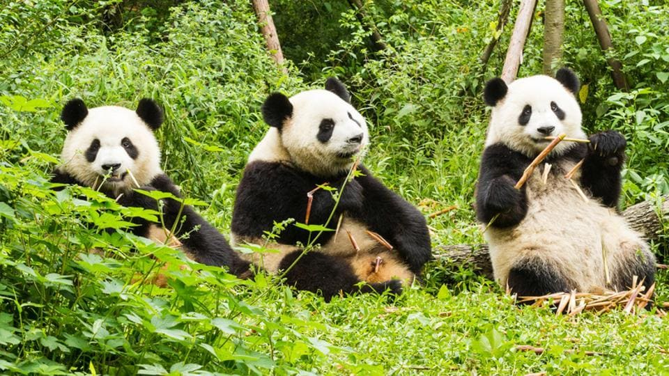 Pandas help protect other species, boost biodiversity and fight climate change.