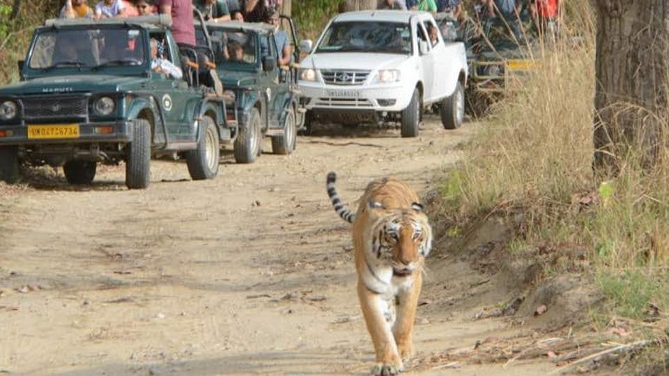 Corbett  is home to 215 endangered Royal Bengal Tigers.