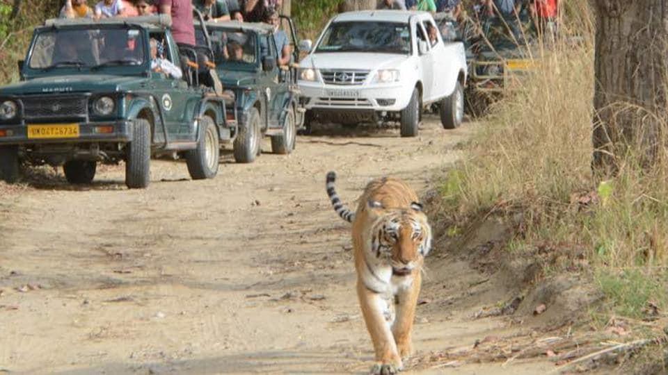 Uttarakhand News,Corbett,Royal Bengal Tigers