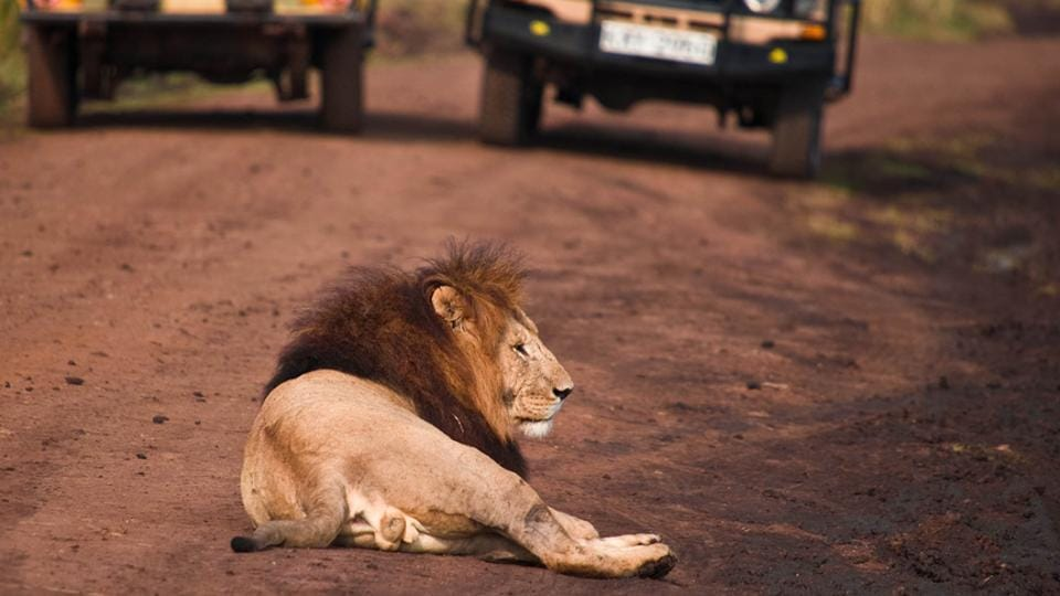 As the woman gave birth to a boy, a group of 12 lions emerged from the forests and surrounded the vehicle.