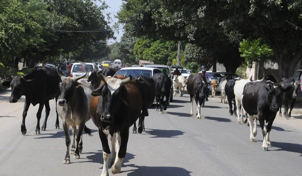 A majority of cattle live in hot and humid parts of the world, according to researchers developing heat-resistant breeds.