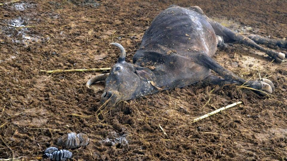 Last year, 135 cows had died at the shelter managed by the Udaipur municipal corporation.