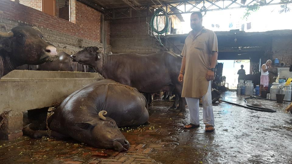 As the skinners have been on a strike for the last six days, the Ludhiana municipal corporation has been lifting dead animals, including dairy complexes, from city areas.