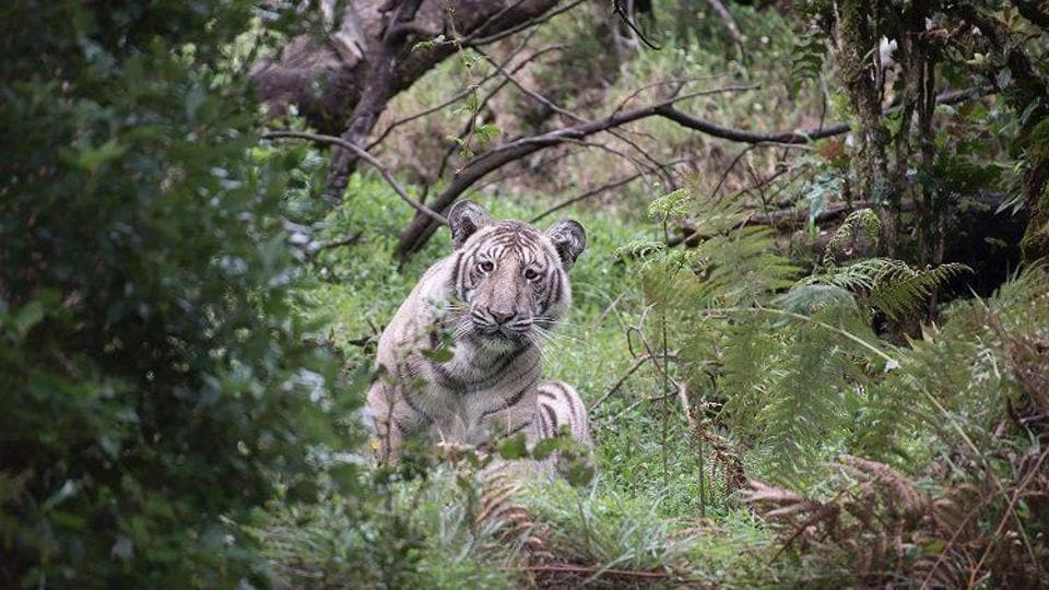 Nilanjan Ray, a wildlife photographer from Bengaluru, spotted the tiger in the Niligiris Biosphere Reserve last week.
