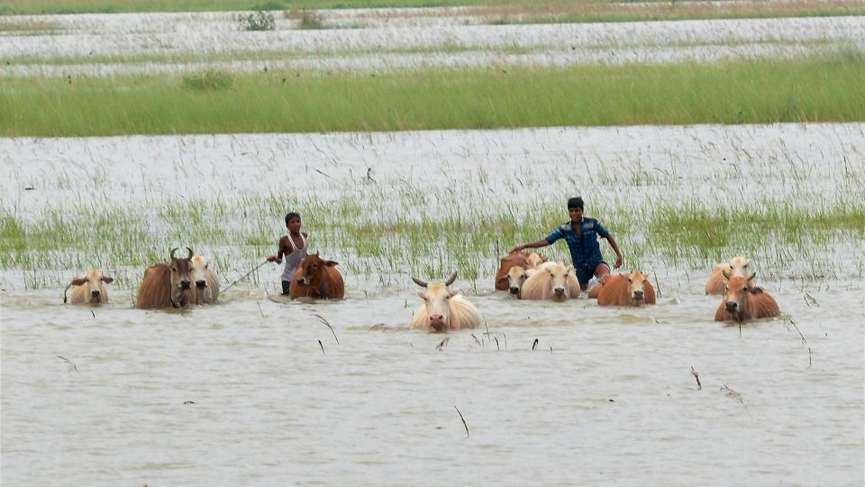 Boys and cattle wade through flood waters at a village in Morigaon district of Assam. (PTI)