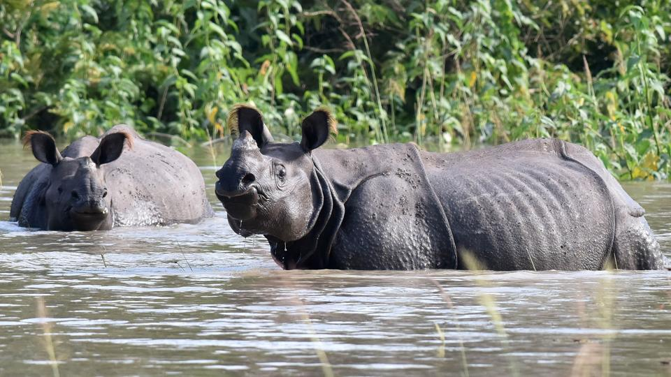 Indian one-horned rhinoceros wade through flood waters in a submerged area of the wildlife sanctuary. Over 50 per cent of Kaziranga National Park has been submerged by flood waters forcing the animals to shift to higher grounds in and around the World Heritage Site park. (Biju BORO / AFP)